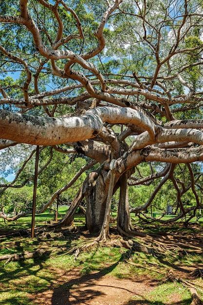 Drzewo Ficus Benjamina Premium Zdjęcia