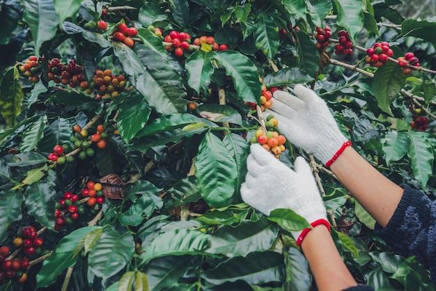 Drzewo kawowe z ziaren kawy na plantacji kawy, jak zbierać ziarna kawy. pracownik harvest arabica ziarna kawy. Premium Zdjęcia