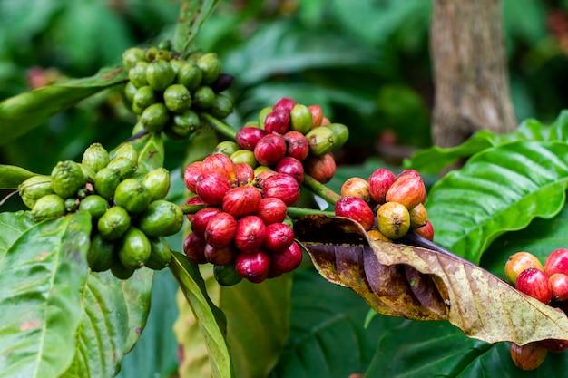 Drzewo kawowe Premium Zdjęcia