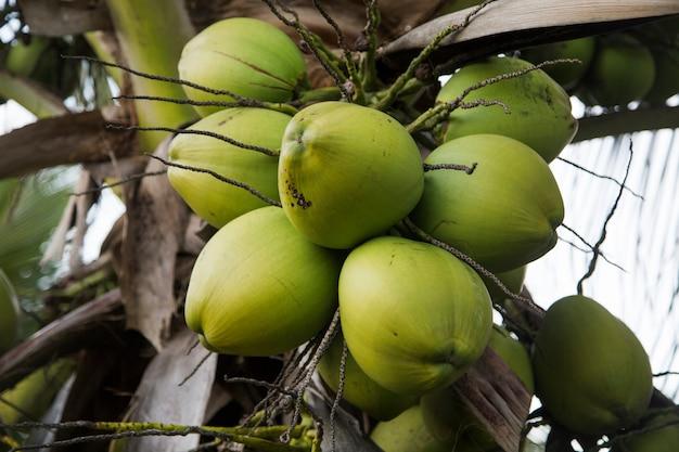 Drzewo Kokosowe W Ogrodzie, Cocos Nucifera Premium Zdjęcia