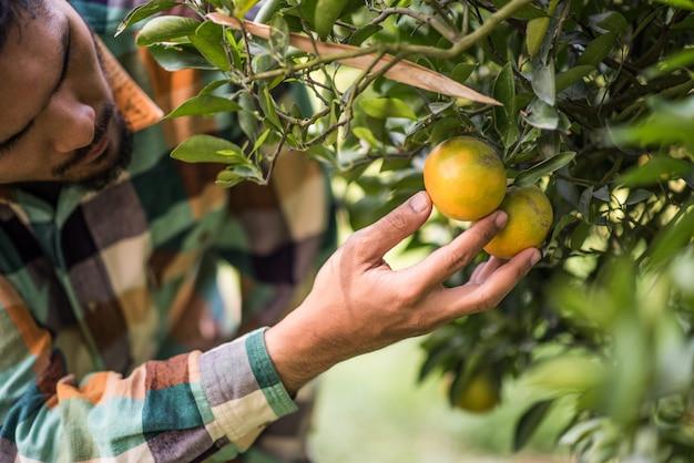 Drzewo Pomarańczowe Pole Mężczyzna Rolnik Zbiorów Zbieranie Owoców Pomarańczy Darmowe Zdjęcia
