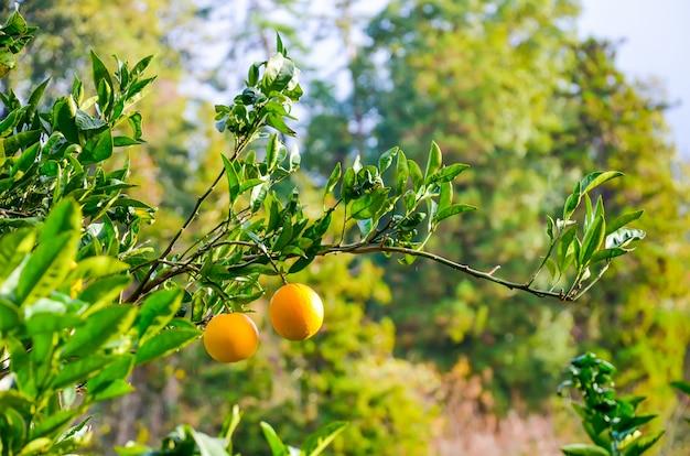 Drzewo Pomarańczowe W Ogrodzie Botanicznym. Batumi, Georgia. Premium Zdjęcia