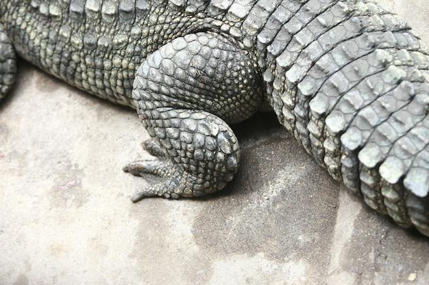 Duża Krokodyl Stopa Na Gospodarstwie Rolnym, Tajlandia Premium Zdjęcia