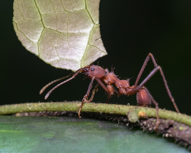 Duża Mrówka Niosąca Kawałek Liścia Szczypcami Premium Zdjęcia