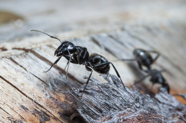 Duże Mrówki Leśne W Ich Rodzimym środowisku Premium Zdjęcia