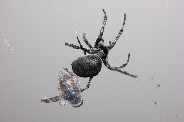 Duży czarny pająk złapał muchę. Premium Zdjęcia