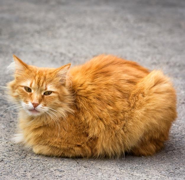 Duży Czerwony Kot Siedzi Na Asfalcie Premium Zdjęcia