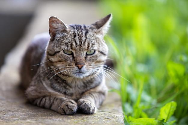 Duży Domowy Kot Cieszy Się Ciepłą Lato Pogodę. Premium Zdjęcia