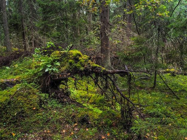 Duży Korzeń Powalonego Drzewa Pokryty Grubym Mchem W Tajdze. Dziewicza Flora Lasów. Tajemnicza Leśna Atmosfera Premium Zdjęcia