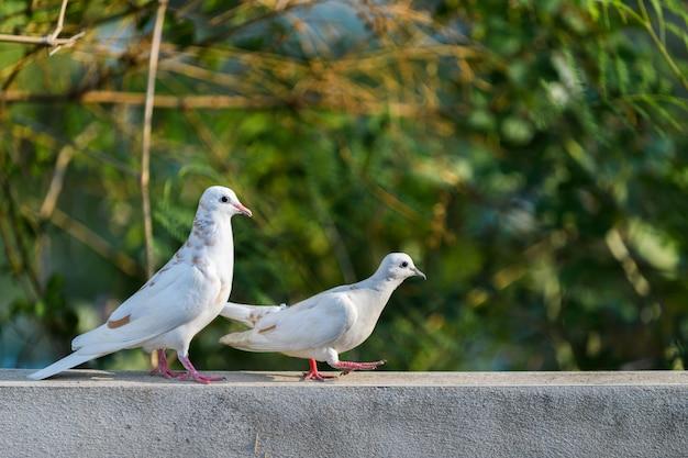 Dwa biała gołąbka chodzi na ścianie Premium Zdjęcia