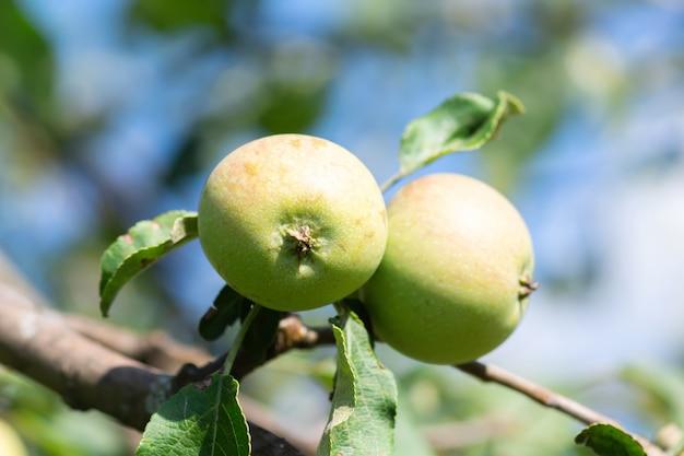 Dwa Dojrzałe Soczyste Zielone Jabłka Na Jednej Gałęzi Wczesnym Rankiem Premium Zdjęcia