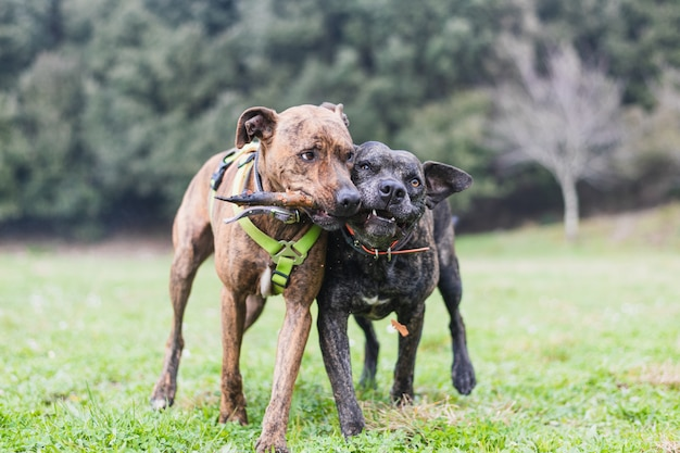 Dwa Duże Psy Bawiące Się Kijem Premium Zdjęcia