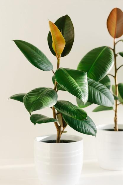 Dwa figowe drzewo kauczukowe w białych, ceramicznych doniczkach. Premium Zdjęcia