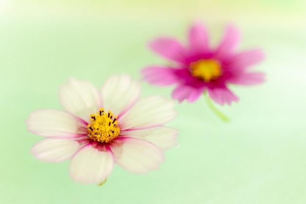 Dwa Kwiaty Zwane Garden Cosmos Unoszące Się Nad Wodą Darmowe Zdjęcia