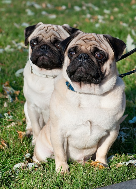 Dwa Mopsów Pies Na Trawie Premium Zdjęcia