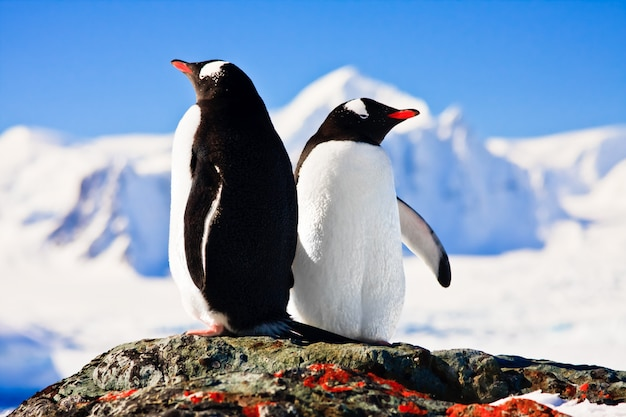 Dwa pingwiny Premium Zdjęcia