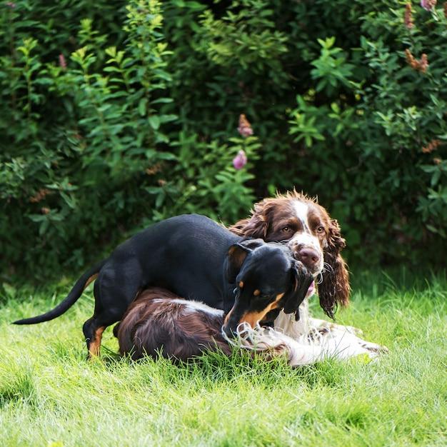 Dwa ślicznego Psa Bawić Się Szorstkiego W Trawie Na Lato Naturze Premium Zdjęcia