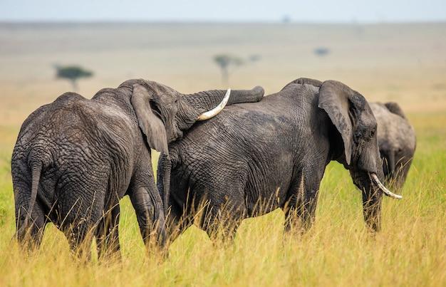 Dwa Słonie Bawią Się Ze Sobą Na Sawannie. Premium Zdjęcia