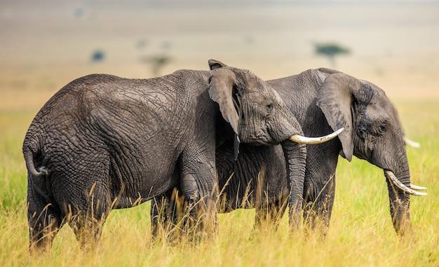 Dwa Słonie Na Sawannie. Premium Zdjęcia