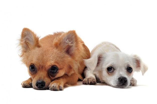 Dwie Chihuahua Premium Zdjęcia