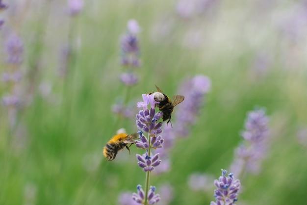 Dwie Pszczoły Latają W Pobliżu Kwiatu Lawendy Na Polu Premium Zdjęcia