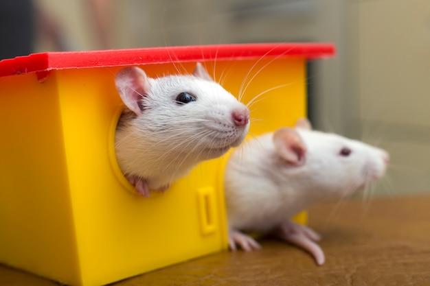Dwie zabawne domowe szczury domowe i dom z zabawkami. Premium Zdjęcia