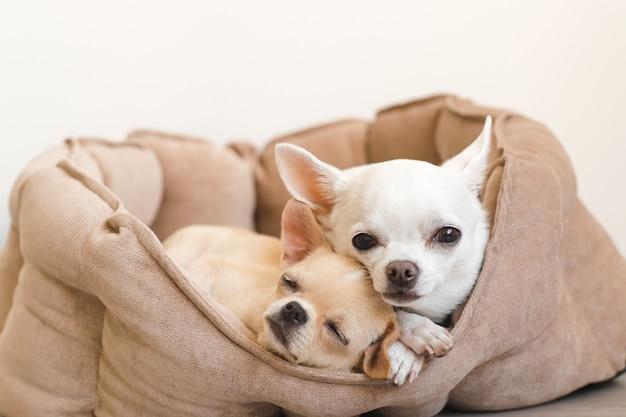 Dwóch Uroczych, Uroczych I Pięknych Domowych Szczeniąt Chihuahua Leżących, Relaksujących Się W łóżku Psa Premium Zdjęcia