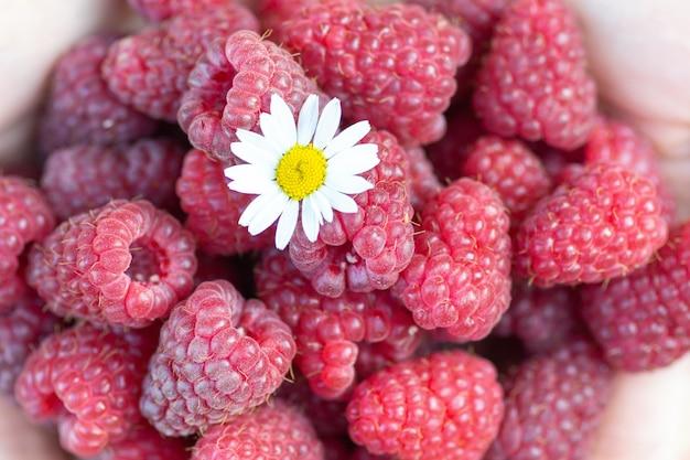 Dziewczyna Trzyma W Dłoniach Dojrzałą Malinę, Na Której Leży Kwiat Rumianku Premium Zdjęcia