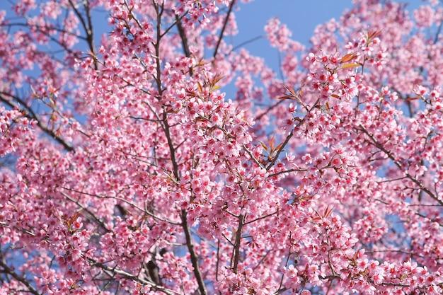 Dzika Himalajska Wiśnia Kwitnie Drzewa Lub Sakura Przez Niebieskie Niebo Premium Zdjęcia