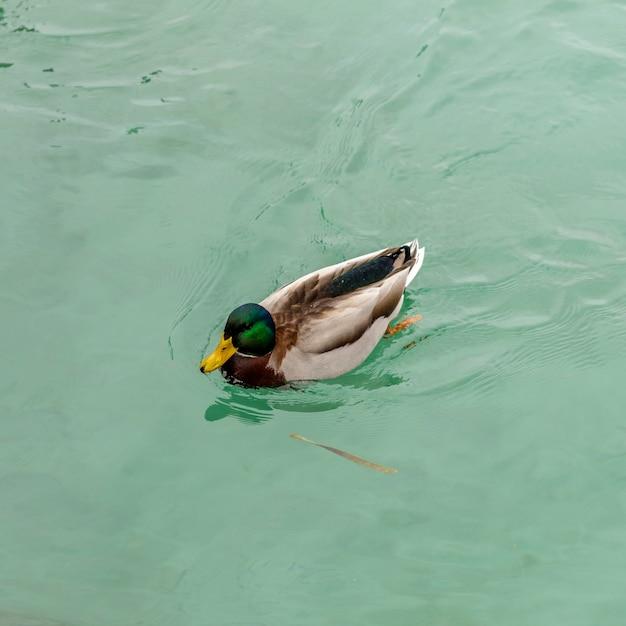 Dzika Kaczka Jeziora Garda W Zimie. Niskie Temperatury Powodują, że Są Powolne I Cichsze. Premium Zdjęcia