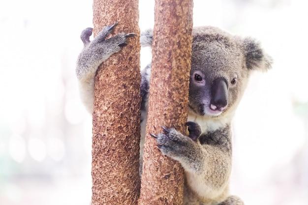 Dzika Koala Wspina Się Drzewa Premium Zdjęcia