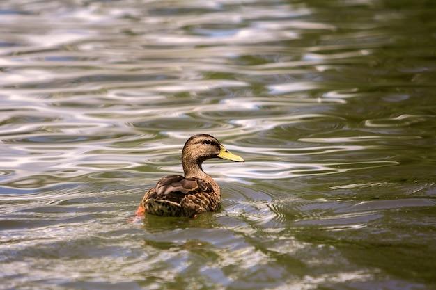 Dzika ładna brązowa ptasia samica kaczki unosząca się w jasnym oświetlonym słońcem jasnym iskrzącym stawie lub wodzie jeziora. Premium Zdjęcia