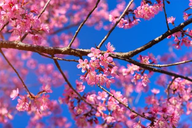 Dziki Himalajski Kwitnienie Wiśni. Premium Zdjęcia