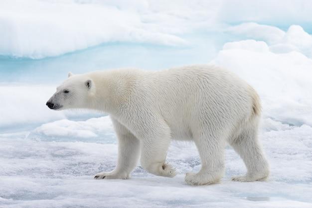 Dziki Niedźwiedź Polarny Idzie W Wodzie Na Lodzie Paczki W Morzu Arktycznym Premium Zdjęcia