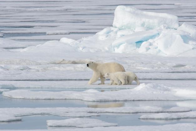 Dziki Niedźwiedź Polarny (ursus Maritimus) Matka I Młode Na Lodzie Stada Premium Zdjęcia