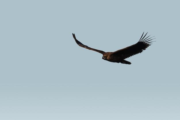 Dziki Sęp Lecący Po Niebie Premium Zdjęcia