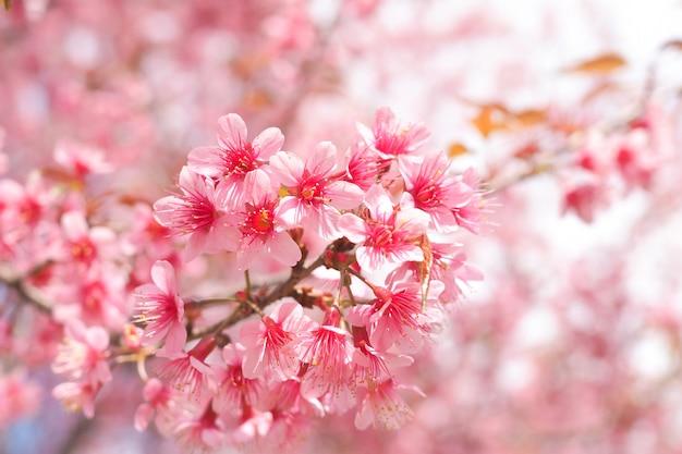 Dzikie Himalajskie Kwiaty Wiśni W Sezonie Wiosennym, Prunus Cerasoides, Pink Sakura Flower Premium Zdjęcia