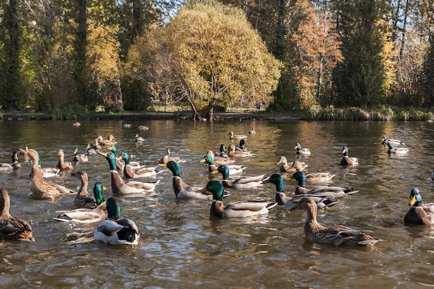 Dzikie kaczki i kaczory na stawie miejskiego parku jesień czekają na karmienie chleba. Premium Zdjęcia