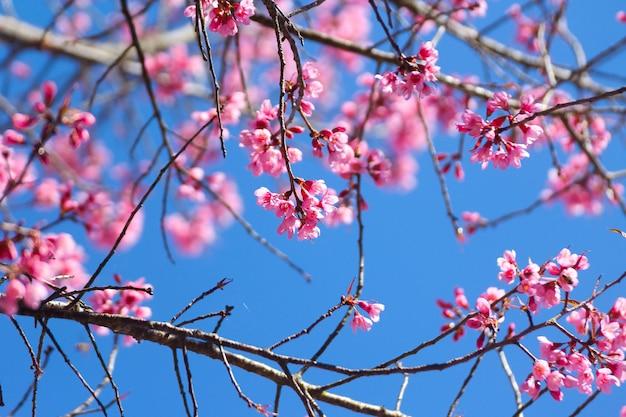 Dzikie Kwiaty Wiśni Himalajskiej Lub Sakura Na Niebieskim Niebie Premium Zdjęcia