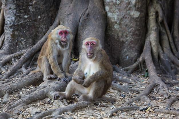 Dzikie Małpy, Pawiany W Tajlandii Premium Zdjęcia