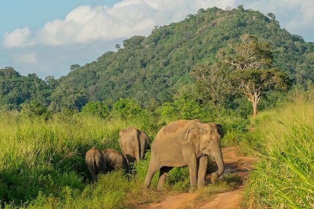 Dzikie Słonie W Dżungli Premium Zdjęcia