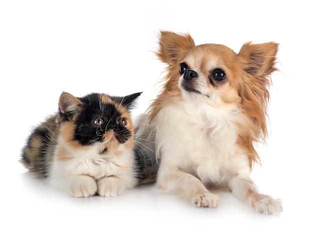 Egzotyczny Krótkowłosy I Chihuahua Premium Zdjęcia