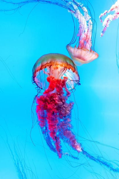 Energetyczne Meduzy Unoszą Się W Oceanie Premium Zdjęcia