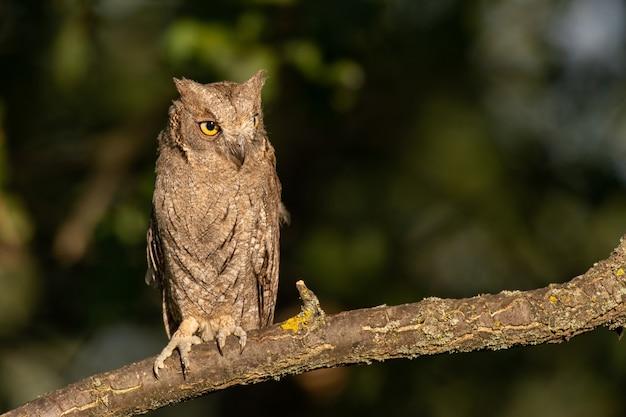 Europejski Owl Otus Scops, Siedząc W Lesie Na Gałęzi. Premium Zdjęcia