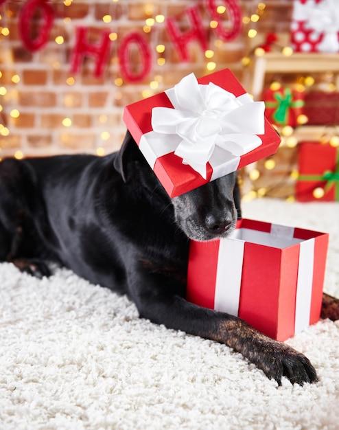 Figlarny Pies Otwierający Prezent Na Boże Narodzenie Darmowe Zdjęcia