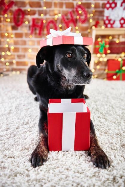 Figlarny Pies Otwierający świąteczny Prezent Darmowe Zdjęcia