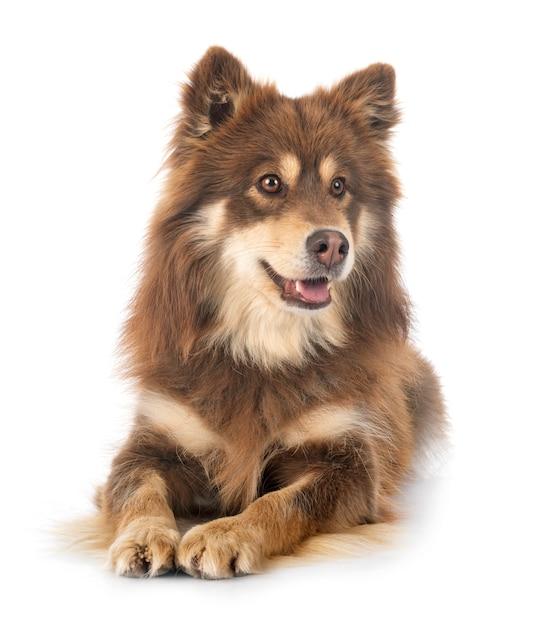 Fiński Lapphund W Studio Premium Zdjęcia