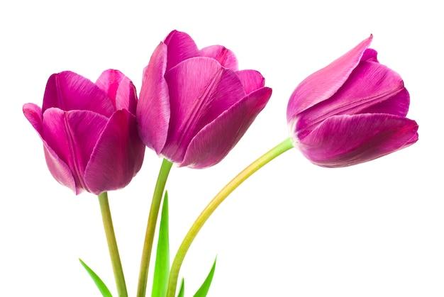 Fioletowe Tulipany Na Białym Tle Premium Zdjęcia