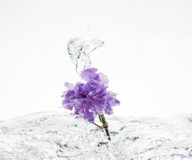 Fioletowy Goździk Wpada Do Wody Darmowe Zdjęcia
