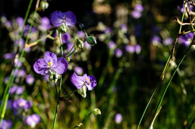 Fioletowy Kolor Tradescantia Lub Spiderworts Flower. Premium Zdjęcia